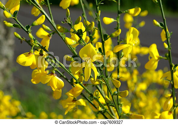 Many little yellow flowers in a bush many little yellow flowers in a bush csp7609327 mightylinksfo