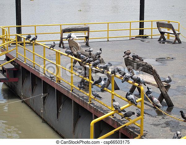 Many pigeon - csp66503175