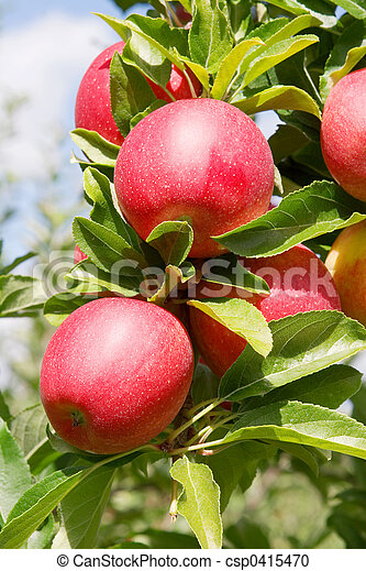 Manzanas - csp0415470