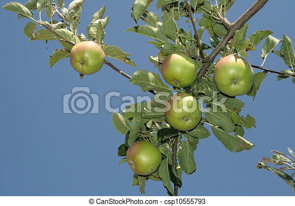 Manzanas verdes - csp10555793