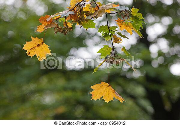 maple branch - csp10954012
