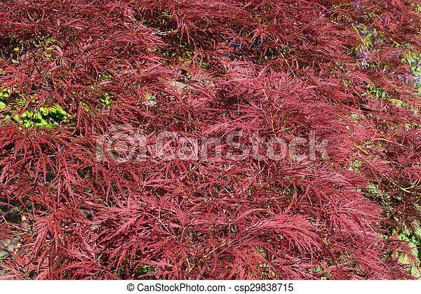 Red Maple Bush In A Garden