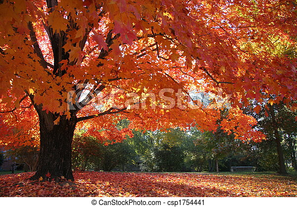 Maple Fall Glory - csp1754441
