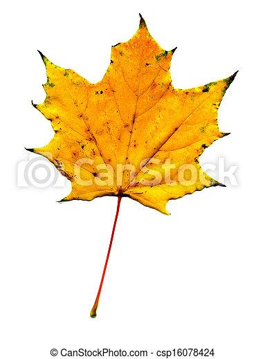 Maple fall leaf - csp16078424
