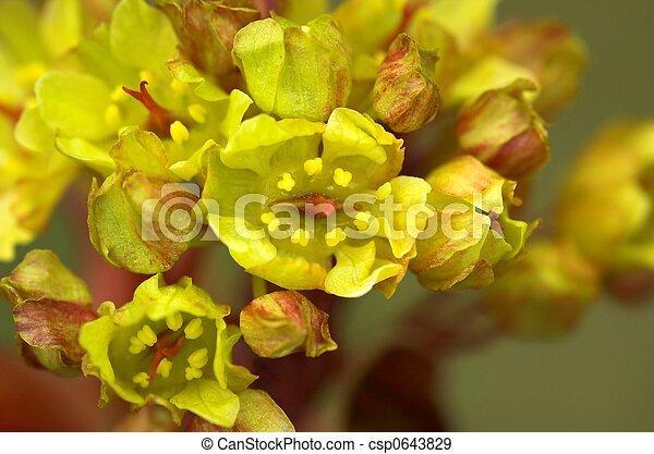 Maple Flowers - csp0643829