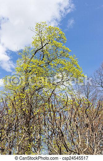 maple in the park - csp24545517