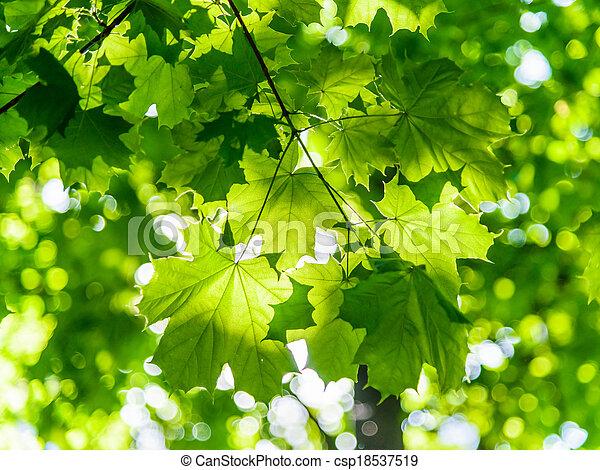 maple in the sun - csp18537519