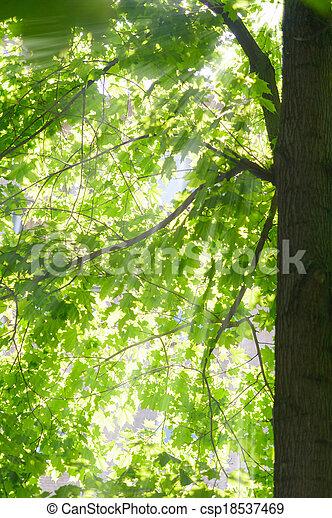maple in the sun - csp18537469