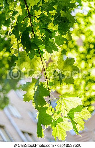 maple in the sun - csp18537520