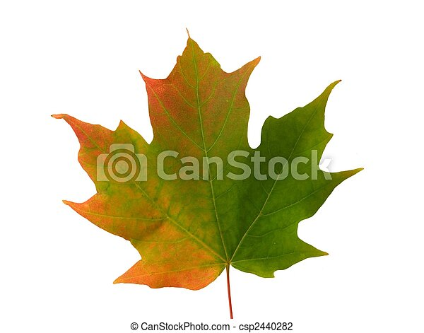 MAPLE LEAF CHANGING COLOR-CLOSE UP - csp2440282