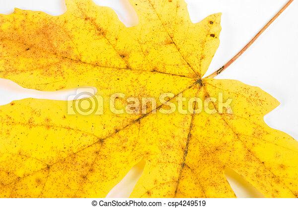 Maple leaf closeup - csp4249519