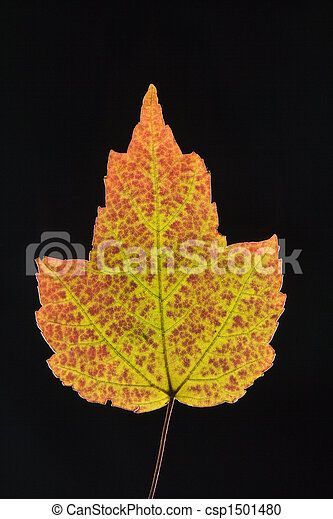 Maple leaf in Fall color. - csp1501480