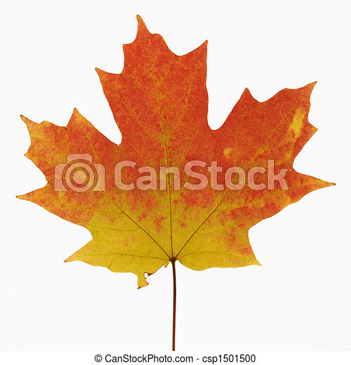 Maple leaf in Fall color. - csp1501500