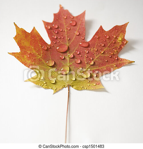 Maple leaf in Fall color. - csp1501483