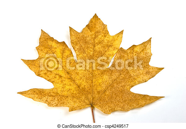 Maple leaf - csp4249517