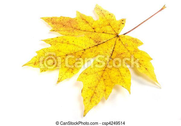 Maple leaf - csp4249514
