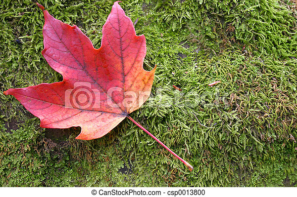 Maple Leaf - csp0013800