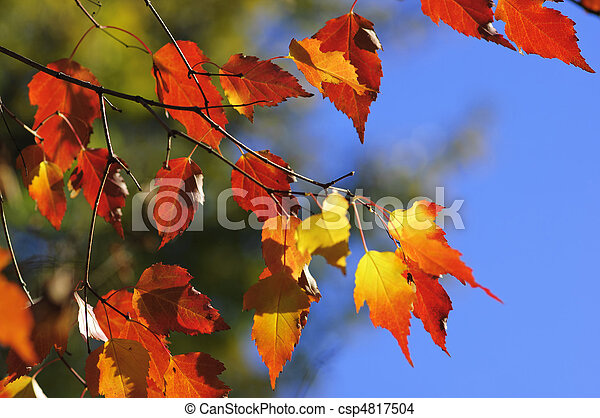 Maple leaves background - csp4817504