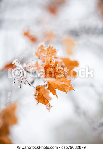 Maple leaves covered with hoarfrost - csp79082879