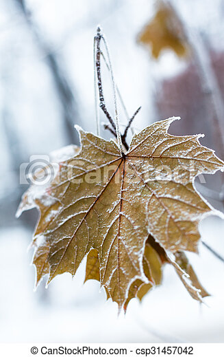 Maple leaves covered with hoarfrost - csp31457042
