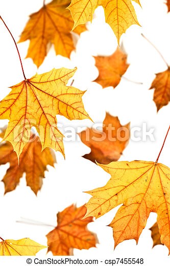Maple leaves fall - csp7455548