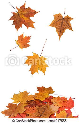Maple leaves falling - csp1017555