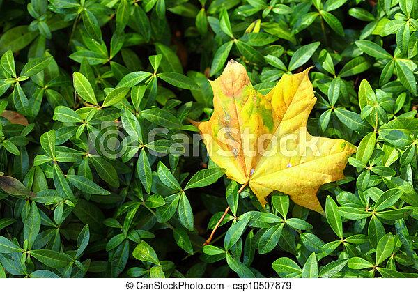 maple leaves, golden autumn - csp10507879