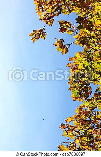maple leaves, golden autumn - csp7806097