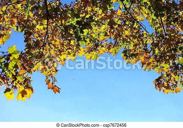 maple leaves, golden autumn - csp7672456