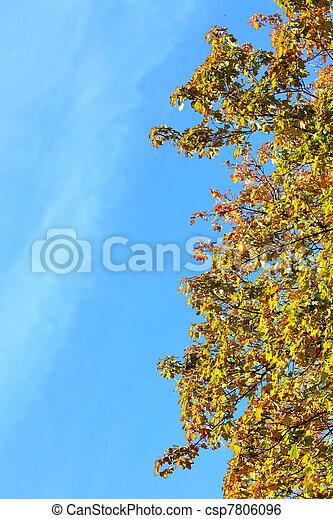 maple leaves, golden autumn - csp7806096