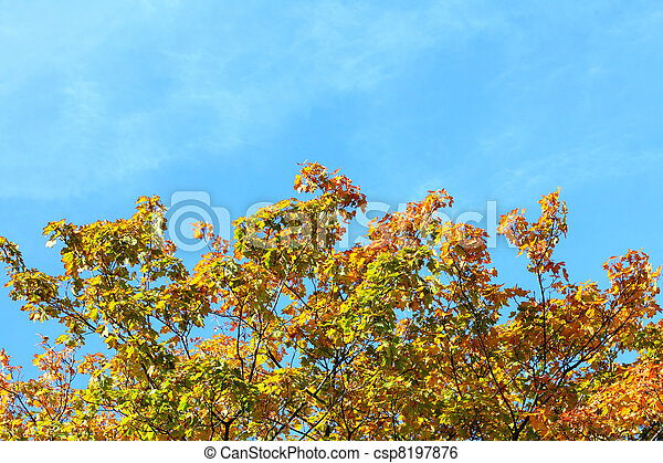 maple leaves, golden autumn - csp8197876