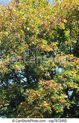 maple leaves, golden autumn - csp7672455