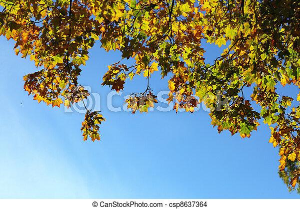 maple leaves, golden autumn - csp8637364