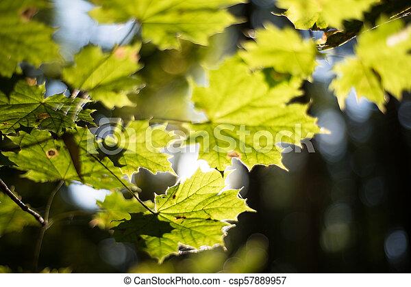 Maple leaves in autumn sun - csp57889957