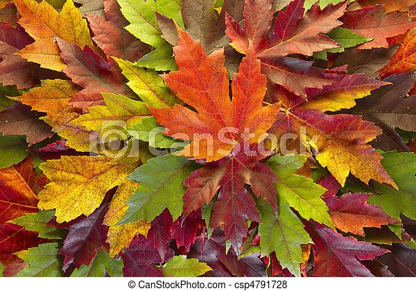 Maple Leaves Mixed Fall Colors Background - csp4791728