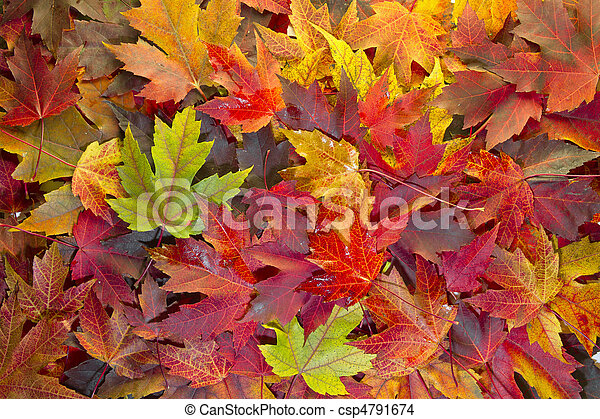 Maple Leaves Mixed Fall Colors Background 2 - csp4791674