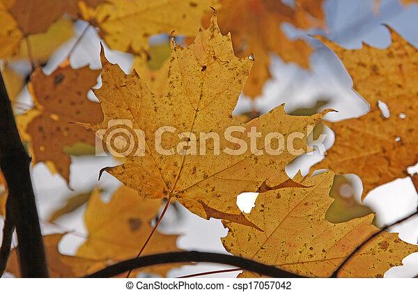 Maple Leaves of Autumn - csp17057042