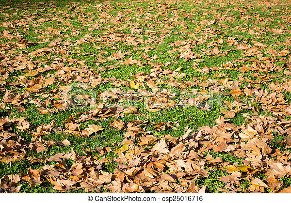 Maple leaves on a green lawn - csp25016716