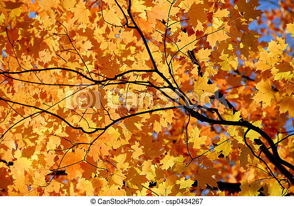 Maple leaves - csp0434267