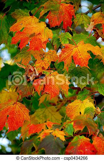Maple leaves - csp0434266