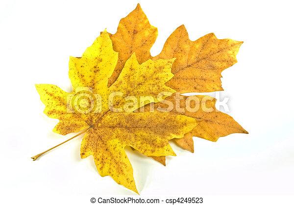 Maple leaves - csp4249523