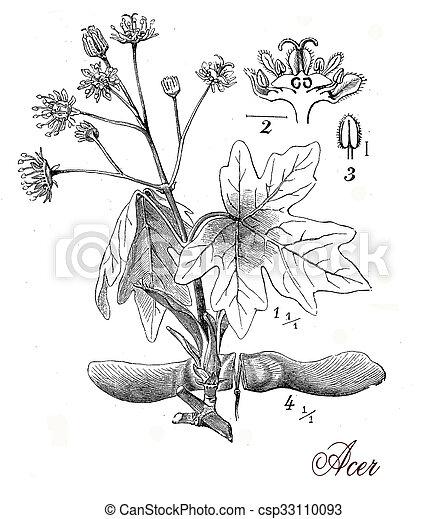 Maple tree, botanical vintage engraving - csp33110093