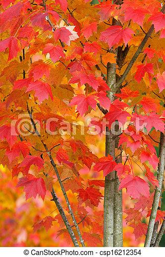 Maple Tree in Autumn Closeup - csp16212354