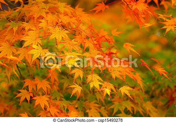 Maple tree - csp15493278