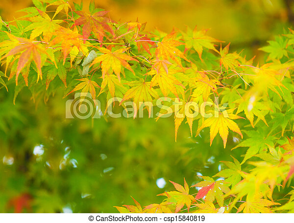 Maple tree - csp15840819