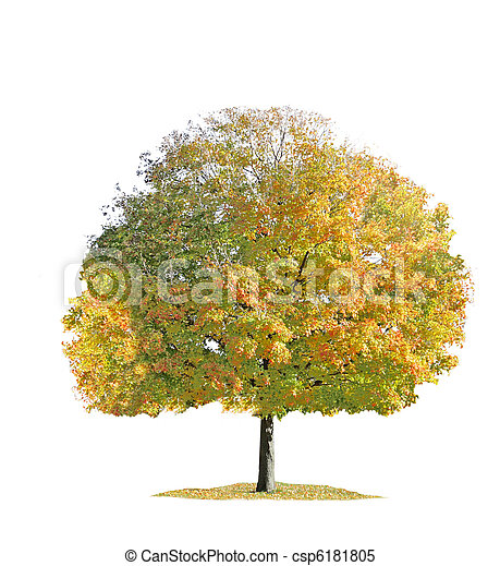 Maple tree - csp6181805