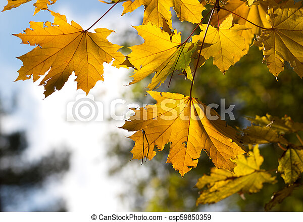 Maple tree with yellow leaves in autumn forest - csp59850359
