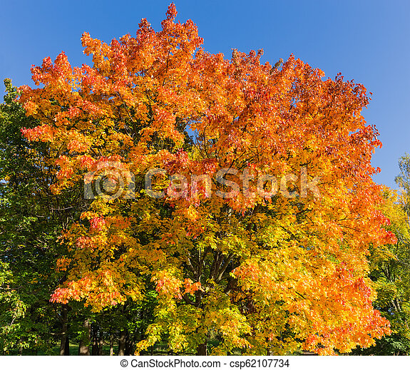 Maple with autumn leaves on a background of the sky - csp62107734