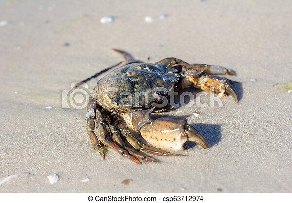 Cangrejo marino en la orilla. - csp63712974