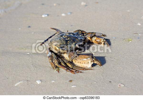 Cangrejo marino en la orilla. - csp63396183
